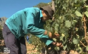 A farm helper near cape Town helps to prune grape vines that are more than 3 years old. [from the PBS video]